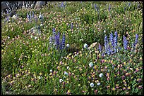 Carpet of wildflowers. Yosemite National Park, California, USA. (color)