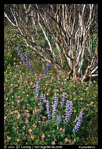 Lupine and. Yosemite National Park (color)