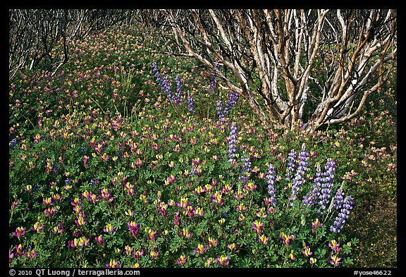 Lupine and manzanita. Yosemite National Park (color)