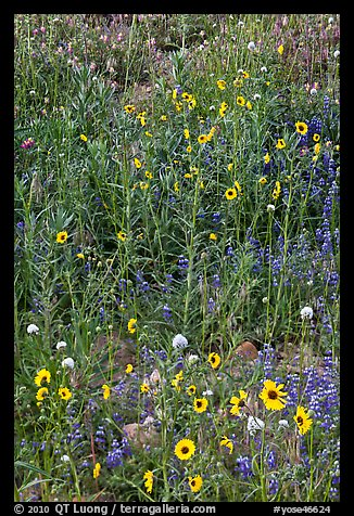 Sunflowers and lupine. Yosemite National Park (color)
