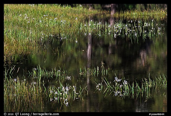 Irises, seasonal pond, and reflections. Yosemite National Park (color)