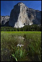 Irises, flooded meadow, and El Capitan. Yosemite National Park ( color)