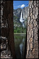 Ponderosa Pine Trees framing Yosemite Falls. Yosemite National Park ( color)
