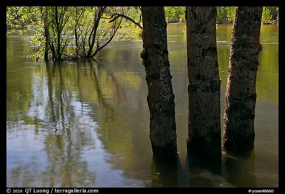 Flooded trees and Merced River. Yosemite National Park (color)