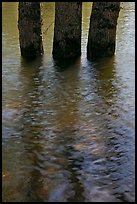 Three flooded tree trunks. Yosemite National Park ( color)