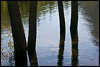 Four flooded tree trunks. Yosemite National Park ( color)