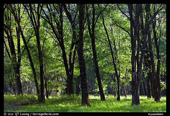 Black Oak trees in spring, El Capitan Meadow. Yosemite National Park (color)