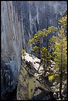 Pine trees on the Diving Board. Yosemite National Park ( color)