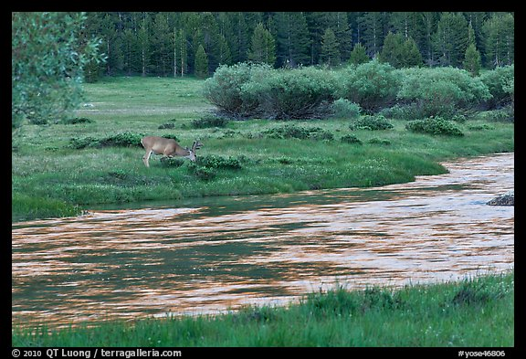 Deer in meadow next to river, Lyell Canyon. Yosemite National Park (color)