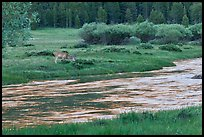 Deer in meadow next to river, Lyell Canyon. Yosemite National Park ( color)