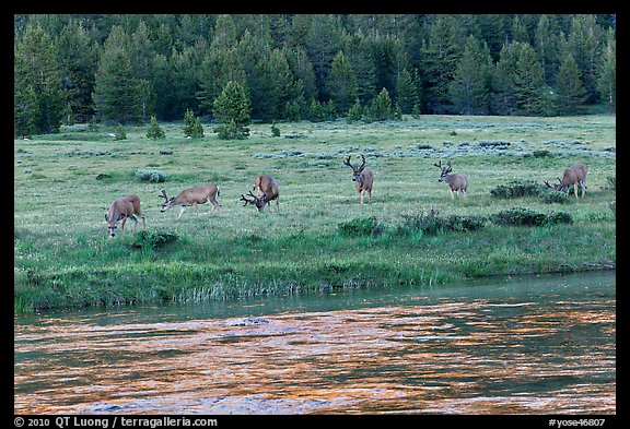 Herd of deer in meadow, Lyell Fork of the Tuolumne River. Yosemite National Park (color)