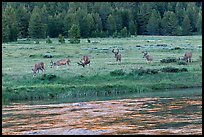 Herd of deer in meadow, Lyell Fork of the Tuolumne River. Yosemite National Park, California, USA. (color)