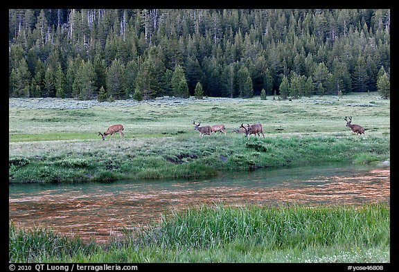 Deer herd at sunset, Lyell Canyon. Yosemite National Park (color)