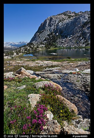 Alpine flowers above Vogelsang Lake. Yosemite National Park (color)