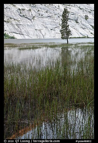 Tree and reflections, Merced Lake. Yosemite National Park (color)