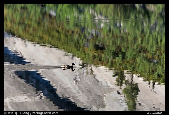 Duck and reflections, Merced Lake. Yosemite National Park (color)