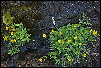 Yellow wildflowers. Yosemite National Park ( color)