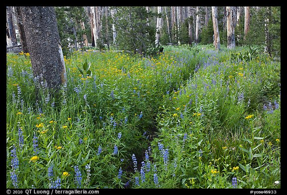 Lush wildflowers, Cathedral Fork. Yosemite National Park (color)