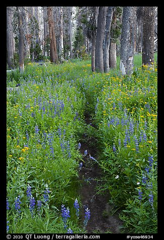 Trail through lush wildflowers. Yosemite National Park (color)