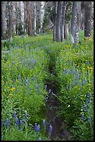 Trail through lush wildflowers. Yosemite National Park, California, USA.