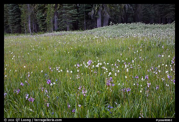 Summer wildflower mix in Summit Meadow. Yosemite National Park (color)