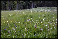 Summer wildflower mix in Summit Meadow. Yosemite National Park ( color)