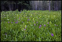 Flowers and forest edge, Summit Meadows. Yosemite National Park, California, USA. (color)