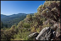 Manzanita tree on outcrop and forested hills, Wawona. Yosemite National Park ( color)