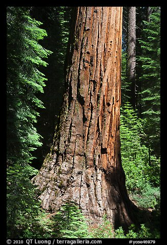 Base of Giant Sequoia tree in Mariposa Grove. Yosemite National Park (color)
