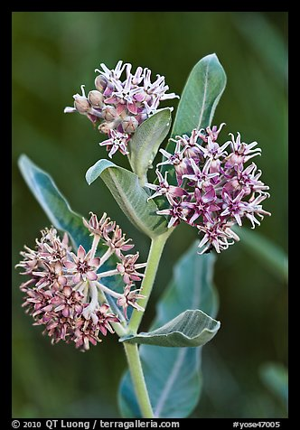 Showy Milkweed. Yosemite National Park (color)