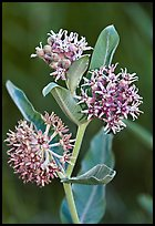 Showy Milkweed. Yosemite National Park ( color)