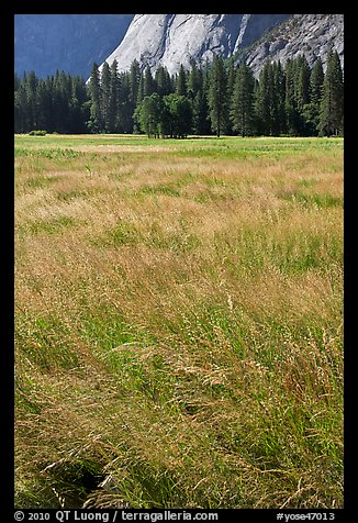 Summer grasses, Ahwanhee Meadow. Yosemite National Park (color)