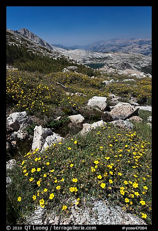 Wildflowers at McCabe Pass. Yosemite National Park (color)
