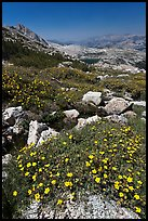 Wildflowers at McCabe Pass. Yosemite National Park ( color)