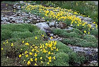 Alpine flowers and stream. Yosemite National Park, California, USA. (color)
