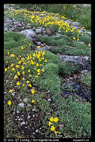 Yellow alpine flowers and stream. Yosemite National Park (color)
