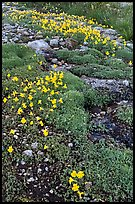 Yellow alpine flowers and stream. Yosemite National Park, California, USA. (color)