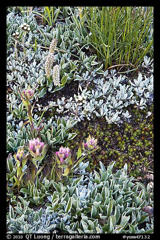 Close-up of alpine flowers. Yosemite National Park (color)