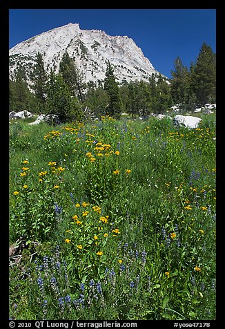 Flowers, forest, and peak. Yosemite National Park (color)