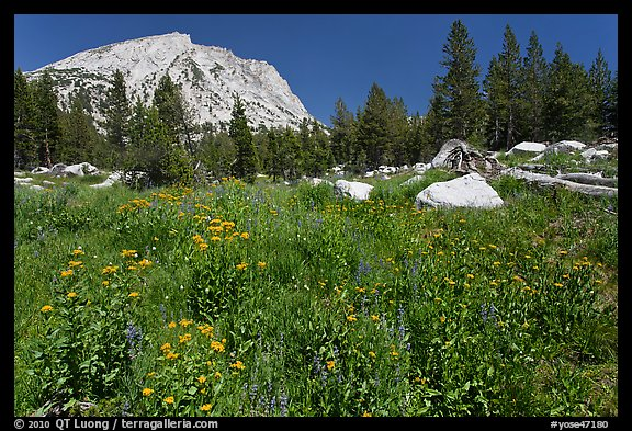 Flowers, pine trees, and mountain. Yosemite National Park (color)