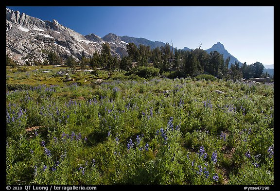 Lupine below Ragged Peak range. Yosemite National Park (color)