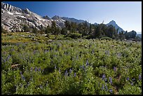 Lupine below Ragged Peak range. Yosemite National Park, California, USA. (color)