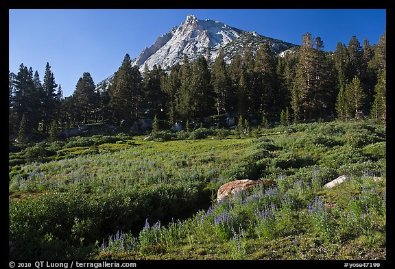 Sub-alpine scenery with flowers, stream, forest, and peak. Yosemite National Park (color)