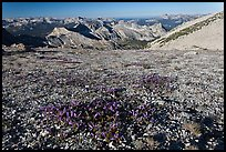 Alpine flowers and view over distant montains, Mount Conness. Yosemite National Park, California, USA. (color)