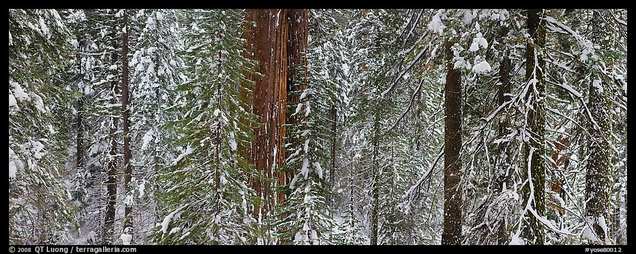 Tuolumne Grove in winter, mixed forest with snow. Yosemite National Park (color)