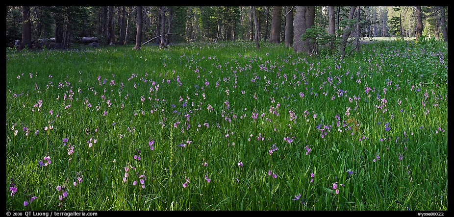 Meadow with wildflower carpet, Yosemite Creek. Yosemite National Park (color)