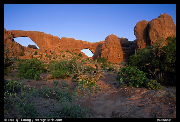 Wildflowers, South window and North window, sunrise. Arches National Park (color)