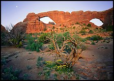 Wildflowers, dwarf tree, and Windows at sunrise. Arches National Park, Utah, USA.
