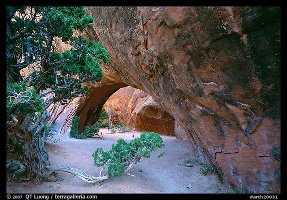 Juniper and glowing Navajo Arch, late morning. Arches National Park (color)