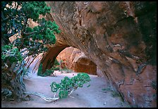 Juniper and glowing Navajo Arch, late morning. Arches National Park, Utah, USA.